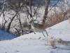 Самка дзерена в прыжке. Фото В.Е. Кирилюка