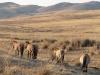 Лошади Пржевальского в Монголии. Хустай, апрель 2007. Фото А.Н. Барашковой