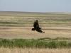 Степной орел, Оренбургская область. Фото А.Н. Барашковой