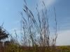Бородач Жерара (Andropogon gerardii) - один из основных доминантов высокотравной прерии. Фото И. Смелянского