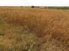 Один из основных злаков высокотравной прерии, Andropogon gerardii, доминирует на участке прерии в резервате «Уошита», Оклахома