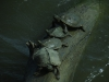 Пилоспинные черепахи (Graptemys pseudogeographica) греются на солнце - их можно наблюдать непосредственно из смотровой галереи визит-центра резервата Де-Сото