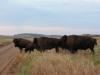 Небольшое стадо бизонов в резервате «Уичита», штат Оклахома