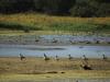 Канадские казарки (Branta canadensis) и синекрылые чирки (Anas discors) в резервате Де-Сото