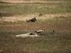 Чернохвостая луговая собачка (Cynomys ludovicianus) на участке Района управления водно-болотными угодьями «Рэйнуотер Бэсин»