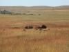 Стадо бизонов в резервате высокотравной прерии, Канзас, США