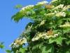 Калина обыкновенная, Центрально-Черноземный заповедник. Фото Г. и О. Рыжковых