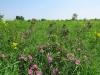 Цветение шиповника майского, Центрально-Черноземный заповедник. Фото Г. и О. Рыжковых