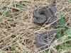 Гадюка степная, Центрально-Черноземный заповедник. Фото Г. и О. Рыжковых