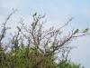 Щурки на усыхающей яблоне, Центрально-Черноземный заповедник. Фото Г. и О. Рыжковых