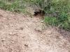 Земляная пробка на зимовочной норе сурка. Центрально-Черноземный заповедник. Фото О.В. Брандлера