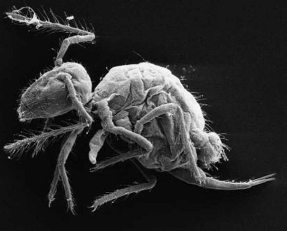 New springtail species Pygmarrhopalites maestrazgoensis (Credit:  Rafael Jordana; Enrique Barquero)