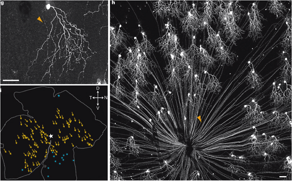 J cells are among the first types of retinal neurons to be genetically controlled