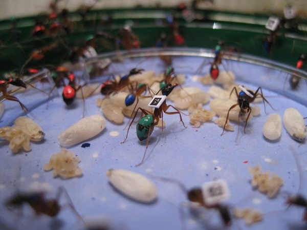 Ants with tags (Credit: ALESSANDRO CRESPI)