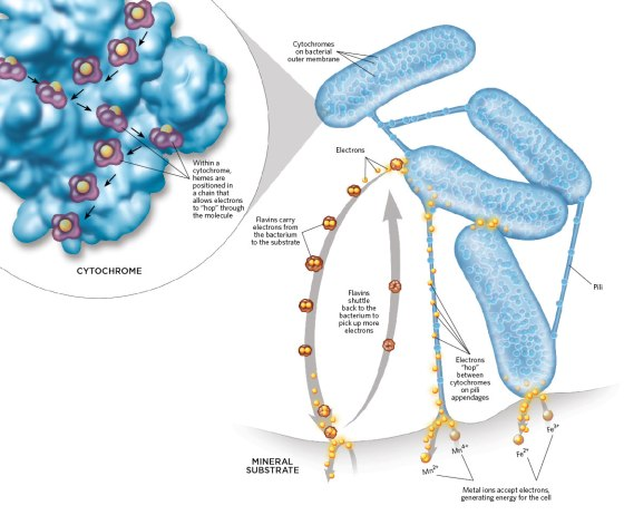Movement of electrons from microbes (Credit: The Scientist)