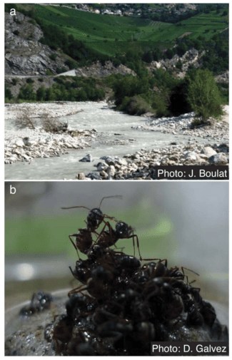 PhotosoffloodplainhabitatinValais,Switzerland(a) and incipient raft during self-assembly (b). (Credit: J. Boulat / D. Galvez / PLOS ONE) doi:10.1371/journal.pone.0089211.g001