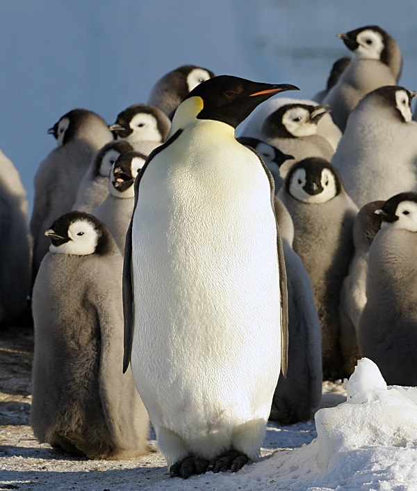 Penguins (Photo Credit: Robin Cristofari, CNRS/IPEV)