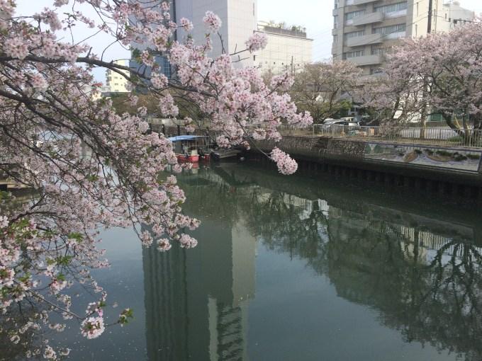 堀川桜_2364