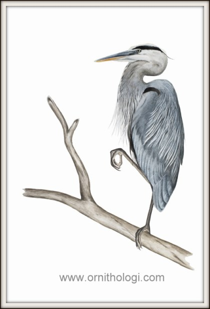 Great Blue Heron watercolor Bryce Robinson