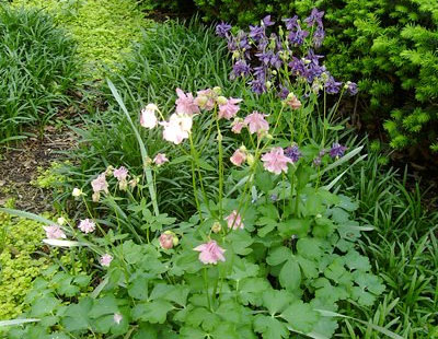 Columbines with Liriope and