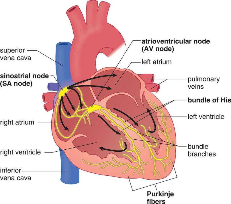 the order in which impulses travel through the heart is | Anexa Creancy