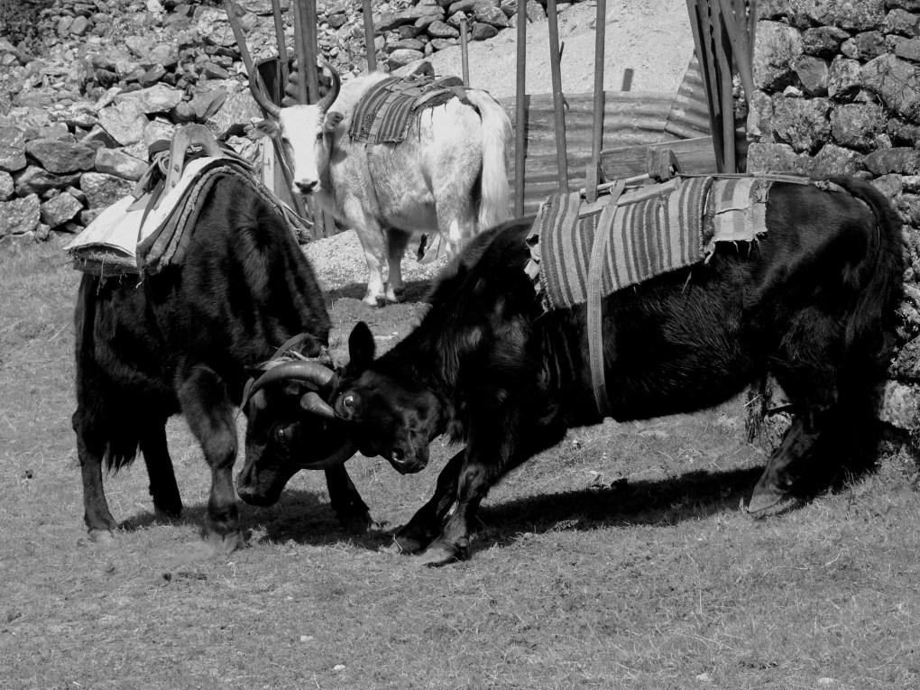 Die Yaks transportieren unser Gepäck von hier an