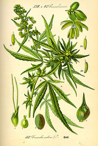An illustration of cannabis plants
