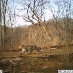 leopard amur