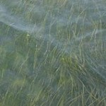 Seagrass in Virginia seaside bay.