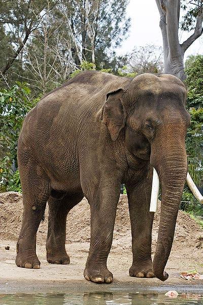 Endangered elephants' outlook bleak without more room to roam