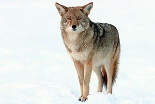 Female Coyotes Can Have Mixed Wolf-Coyote Pups