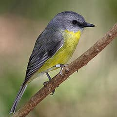 240px-Eastern_yellow_robin