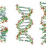 800px-A-DNA,_B-DNA_and_Z-DNA
