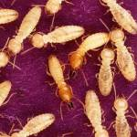 Understanding-termite-digestion-could-help-biofuels,-insect-control-