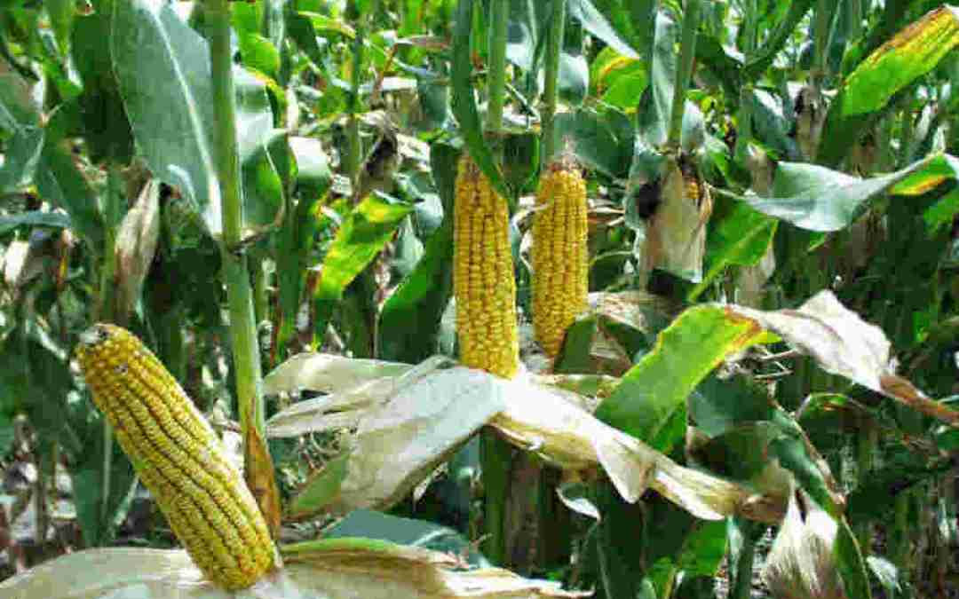 Study casts doubt on climate benefit of biofuels from corn residue