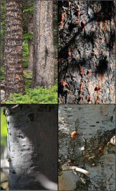Slippery bark protects trees from pine beetle attack