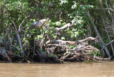Uh-oh: Tennessee study finds crocodiles climb trees