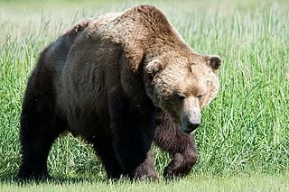 Study yields 'Genghis Khan' of brown bears, and brown and polar bear evolution