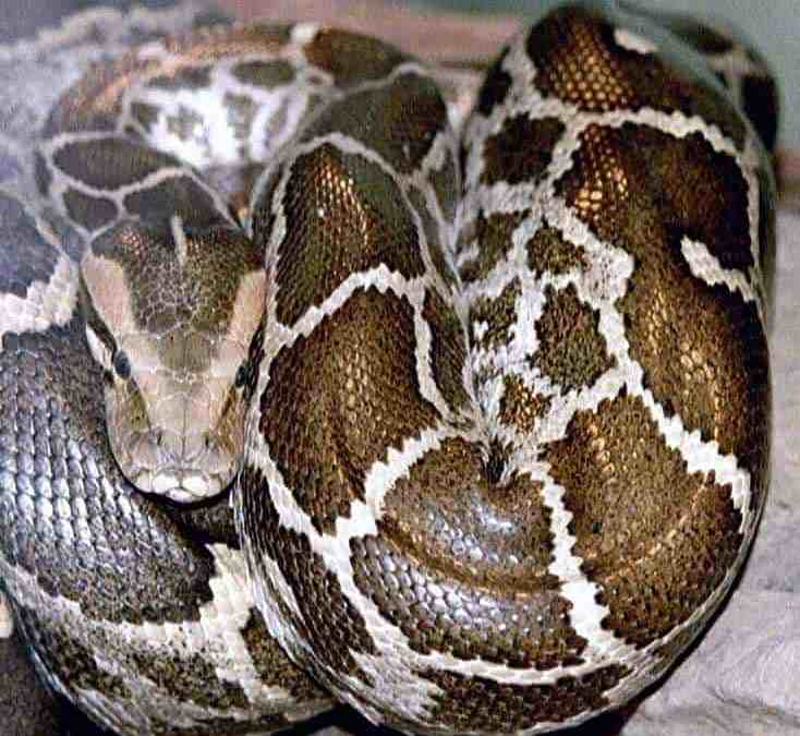 Invasive Burmese Pythons Are Good Navigators and Can Find Their Way Home
