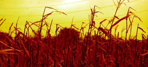 Climate change will reduce crop yields sooner than we thought