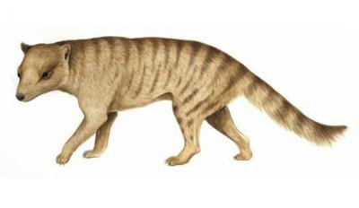 Forget the honeybadger: Tough marsupial may have hunted prey bigger than itself