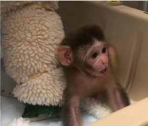 Oxytocin-promotes-social-behavior-in-infant-rhesus-monkeys
