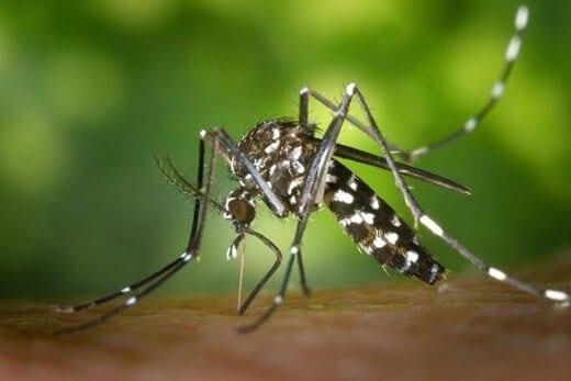 Chikungunya virus spreads in Americas, enters U.S. via travelers