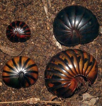 New species of ancient, chirping, giant pill-millipedes already threatened
