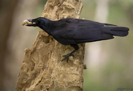 Crows smarter Than a First-Grader?