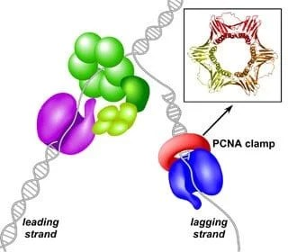 Researchers create the first model of the DNA 'replication fork'