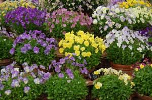 Viola_cultivars_at_BBC_Gardeners'_World_-_20110616