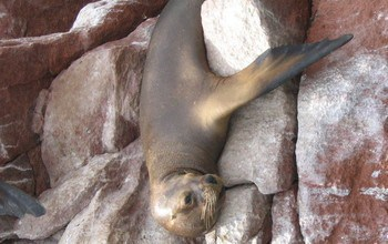 Sea lions, not Columbus may be to blame for many Native American tuberculosis deaths