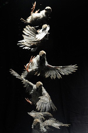 Flapping baby birds offer clues to origin of flight