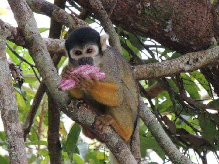 Endangered Amazon monkeys more diverse than expected